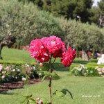rosa jardín Cervantes