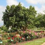 rosas parque Cervantes