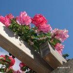 rosas sobre pérgola