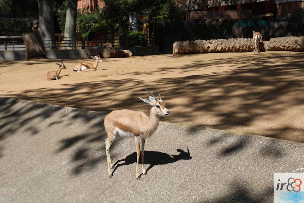 gacela granja Zoo Barcelona
