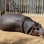 hipopótamo Zoo Barcelona