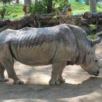 rinoceronte Zoo Barcelona