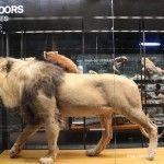 león y mamíferos disecados