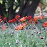 flores jardines Mossèn Costa i Llobera