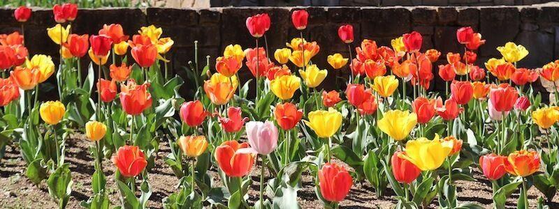 flores Mossèn Cinto Verdaguer