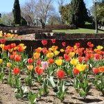 tulipanes Jardines Mossèn Cinto Verdaguer