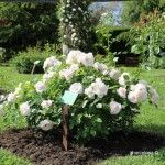 rosas jardín Cervantes