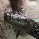 cocodrilo Zoo Barcelona
