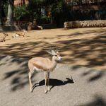 gacela Zoo Barcelona