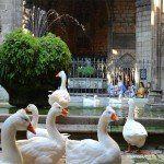 ocas en el claustro Catedral de Barcelona