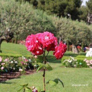 Concurso Internacional Rosas Nuevas